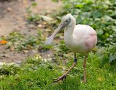 Roseate Spoonbill 2 — Stock Photo