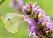 Kapusta biały motyl — Zdjęcie stockowe