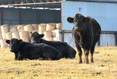 Black cow — Stock Photo