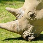 Rhinoceros head — Stock Photo #47828875