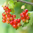 Red currant (Ribes rubrum) — Stock Photo #48873951