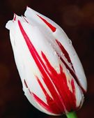 1st tulip in the spring season — Stock Photo