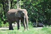 Wild Elephant — Stockfoto