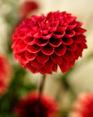 Red Coloured Dalia — Stock Photo