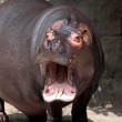 Hippopotamus — Stock Photo #27974813