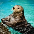 Sea otter — Stock Photo
