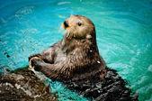 Sea otter — Stock Photo