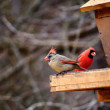 Cardinal birds(Like that of a Catholic cardinal's vestments) — Stock Photo