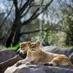The Lion(Panthera Lio Persica) — Stock Photo