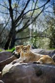 The Lion(Panthera Lio Persica) — ストック写真
