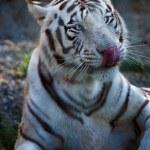 Постер, плакат: Siberian tiger licking his nose