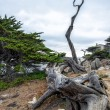 The ghost tree of 17 Mile drive — Stock Photo