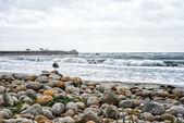 Pebble beach with Seagull — Stock Photo