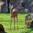 Southern Gerenuk — Stock Photo