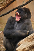 Yawning Gorilla — Stock Photo