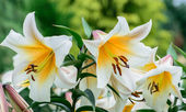 Oriental Asiatic  Lily Flowers — Stock Photo