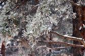 растения в зимнем лесу — Стоковое фото