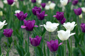 Garden tulips on the flowerbed — Stockfoto