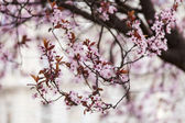 Branch of a blossoming fruit tree — Stockfoto