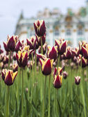 Lots of tulips on a lawn in park — Stock Photo