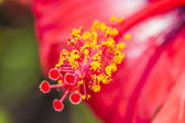 Large red southern flower — Stock Photo
