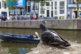 Amsterdam, Netherlands, on July 7, 2014. The pigeon sits on the bank of the channel against old houses — Photo