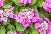 Ornamental shrub with bright pink flowers — Stock Photo