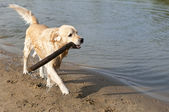 Beautiful golden retriever which holds stick on the beach — Stock Photo