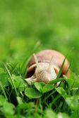カタツムリ。エスカルゴ. — ストック写真