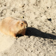 Black-tailed Prairie Dog — Stock Photo #18116723