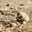 Black-tailed Prairie Dog — Stock Photo #18274915
