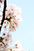 Cherry blossom against — Foto Stock