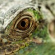 Green iguana — Stock Photo
