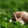 Snail. Helix pomatia. — Stock Photo #28861509
