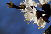 Cherry blossom against — Stock Photo