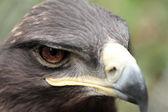 Steppe Eagle — Stock Photo