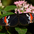 Stock Photo: Heliconius erato