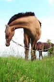 Hnědý kůň — Stock fotografie