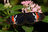 Heliconius erato — Stock Photo
