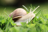 Snail (Helix pomatia) — Stock Photo