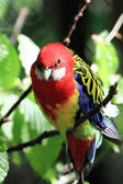 Parrot (Eastern Rosella) — Stock Photo