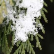Snow on fir branches, macro — Stock Photo