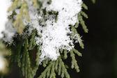 śnieg na gałęzie jodły, makro — Zdjęcie stockowe
