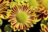 Red yellow chrysanthemum — Stock Photo