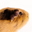 Red guinepig — Stock Photo #32157579
