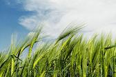 绿色小麦 — 图库照片