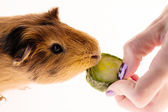 Red guinea pig — Stock Photo