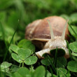 Snail. Helix pomatia. — Stock Photo