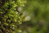 Fresh moss macro — Stock Photo