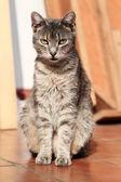 灰色的猫 — 图库照片